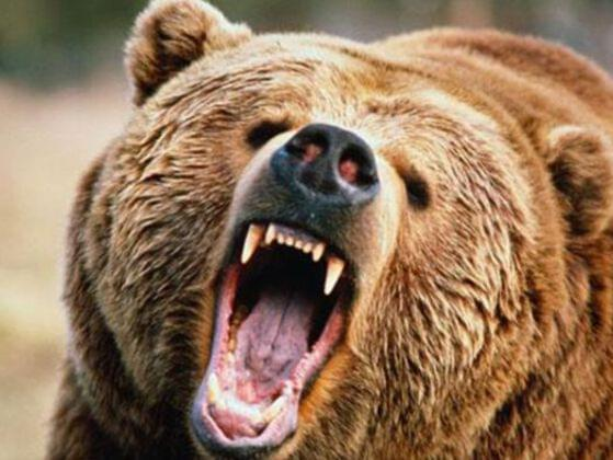 Why can't a bear's nose be 12 inches?