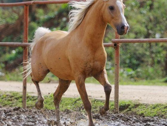A FEMALE HORSE IS A MARE.