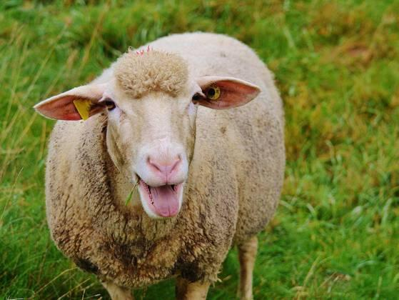 THE PLURAL FORM OF SHEEP IS: