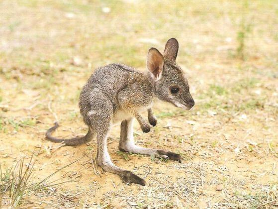 A YOUNG KANGAROO IS A: