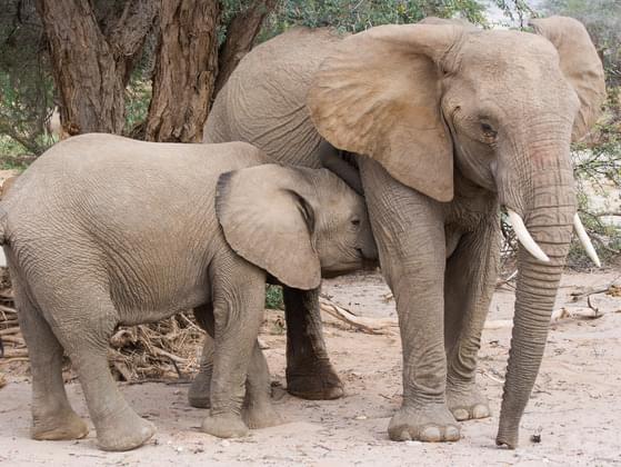 A FEMALE ELEPHANT IS A: