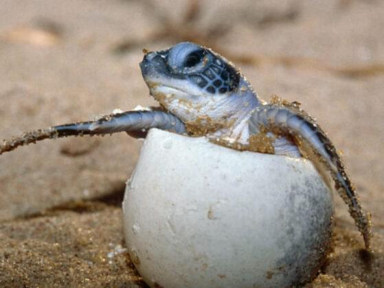 You're at the Great Hatching! But humans have come to poach the hatchlings! What do you do?