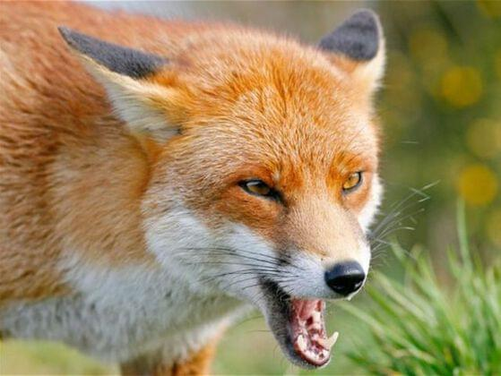 Six foxes catch six hens in six minutes. How many foxes will be needed to catch sixty hens in sixty minutes?