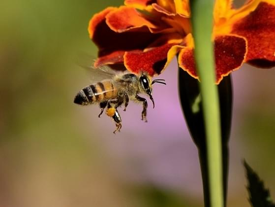 Bees are found on every continent of earth except for one. Which is it?