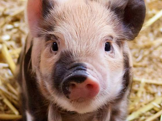 Which baby farm animal gives you the warmest and fuzziest feelings?