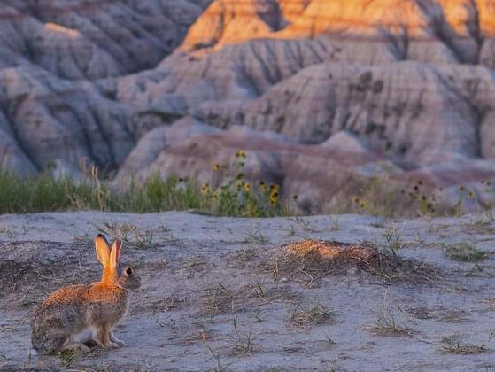 The Badlands were covered by a shallow sea when they first started forming 75 million years ago. As the water receded, it left behind sediment (grains of clay, sand, or silt) that helped form the plateaus and pinnacles that make up the landscape today.