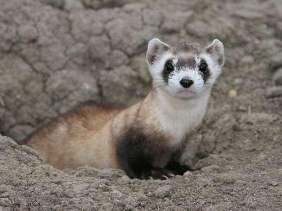 Black-footed ferrets, once widespread across the Great Plains, came close to extinction in the 20th century. Prairie dogs are their main food source, and the destruction of this prey population had a drastic effect on ferret numbers.