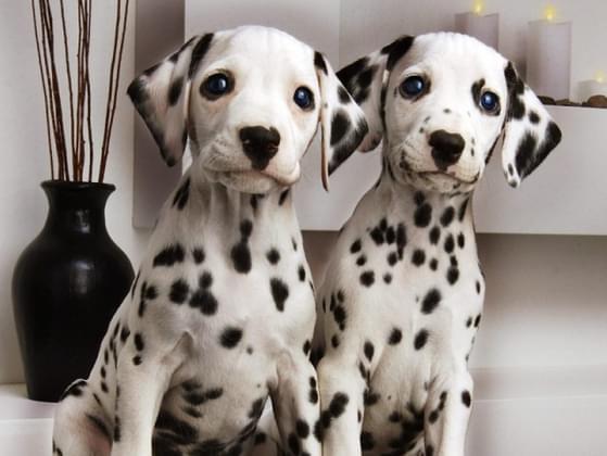 Pick a dog breed!
