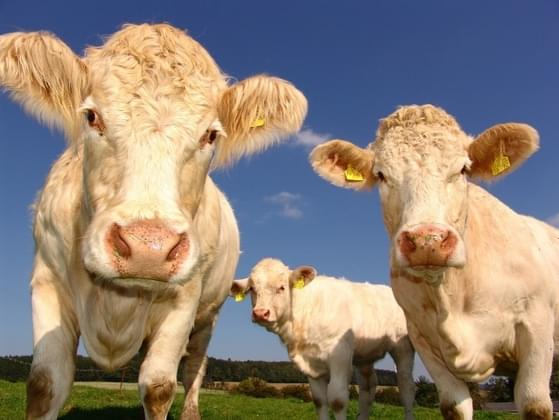 What are cattle best for?