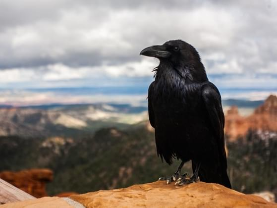 When you see this raven, you feel....