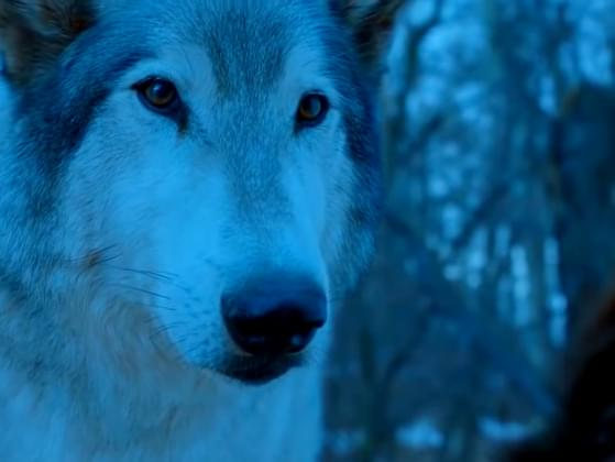 What is the name of Arya's wolf?