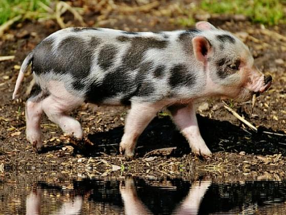 When I say PIGLET, you think...