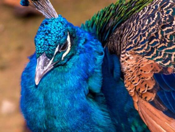 Exotic birds are also a must. Would you prefer peacocks or ostriches?