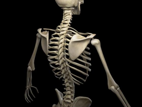 The adult human body has ____ bones