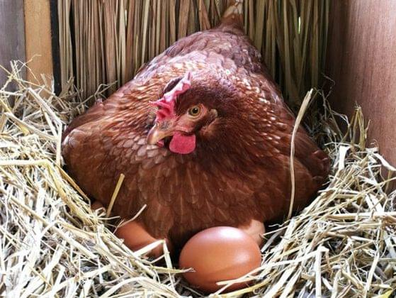 Hens get busy! About how many eggs does one hen lay per year on average?