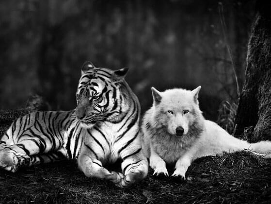 Are you more like a tiger or a wolf?